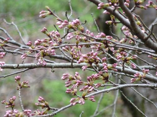 2012.4.4.8ベランダ桜.JPG